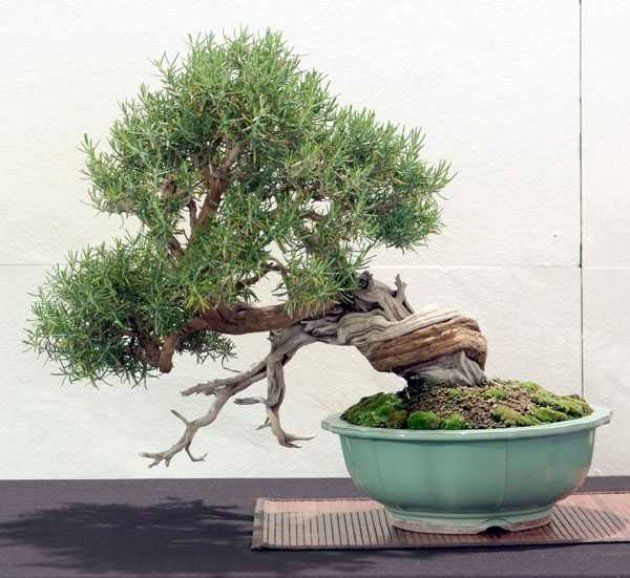 Bons i de interior cultivo del bons i romero twisted nejikan pinterest bonsai and gardens - Cultivo del bonsai ...