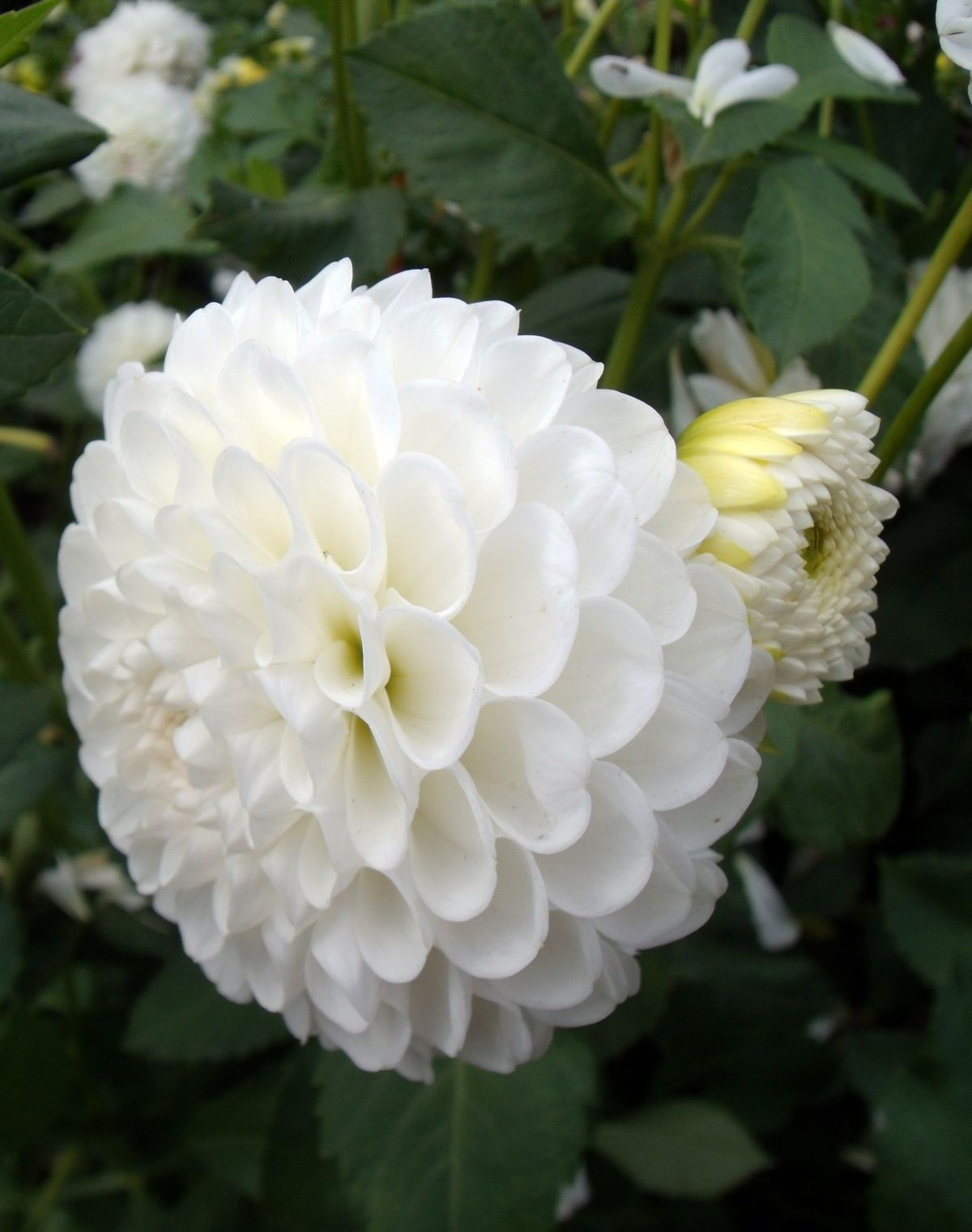 Fall flowers for flower beds plants flowers white flower dahlia fall flowers for flower beds plants flowers white flower dahlia mightylinksfo