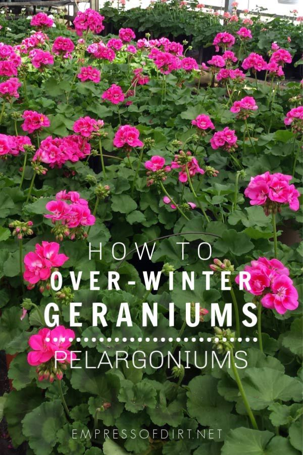 Those tall robust colorful geraniums also known as zonal geraniums or Pelargonium x hortorum can grow for many years with these fall overwintering tips