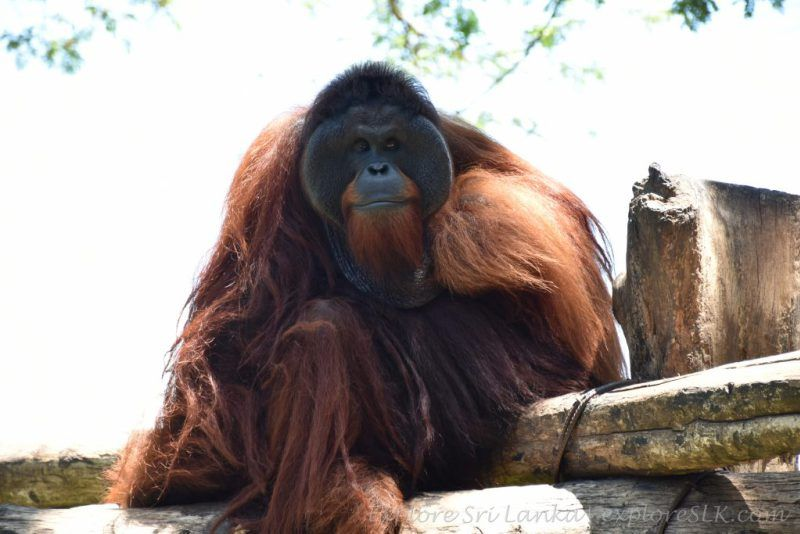 Orangutan on a wooden attic