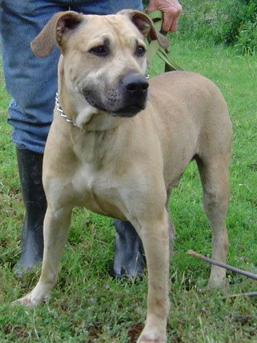 Adopt Beaufort On Animal Shelter Black Mouth Cur Black Mouth