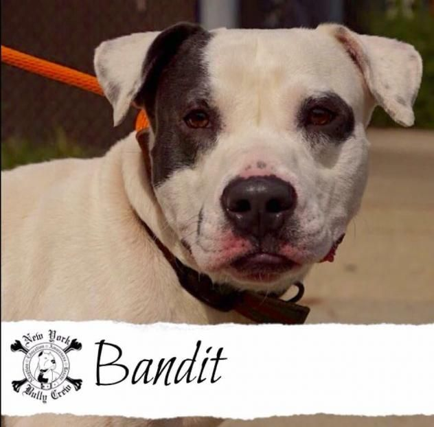 Adopt Bandit On American Bulldog Rescue Bulldog Rescue