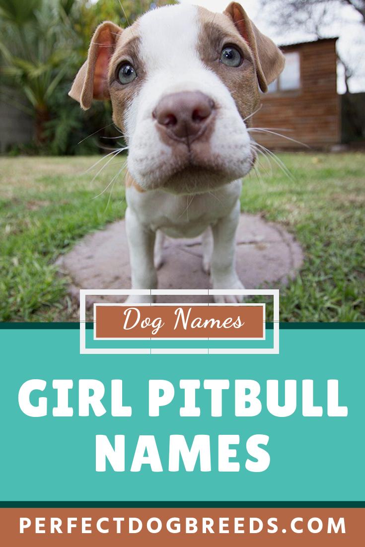 Girl Pitbull Names Pitbull Names Girl Pitbull Names Girl Dog Names