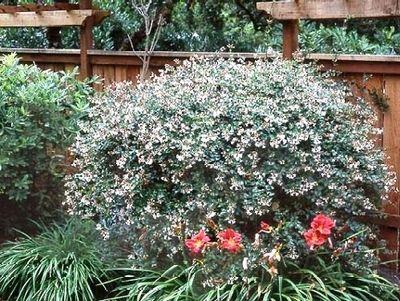 Abelia X Little Richard Glossy Abelia Backyard Landscaping