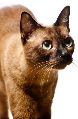 Cat Breed Guide Burmese Cat Breeds Cats Cute Animals