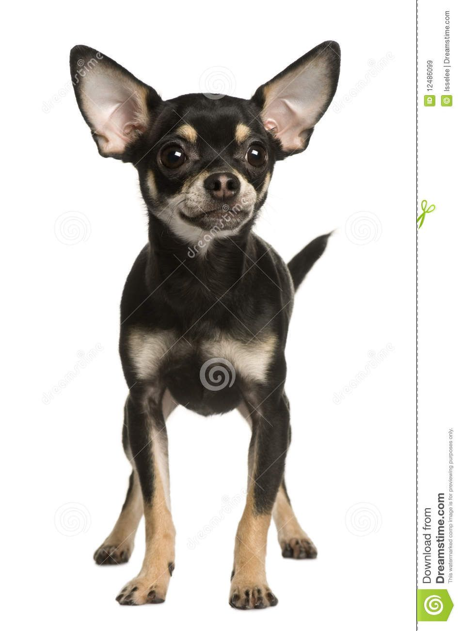 Black chihuahua dog standing animals canines pinterest black chihuahua dog standing pooptronica