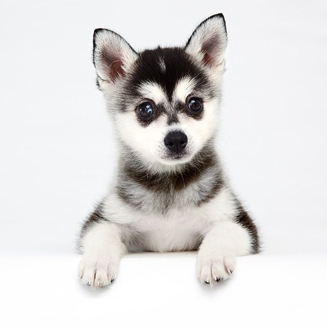 I havent been posting as much these last few weeks. Please accept this cute puppy picture as my apology. Sorry! Do you know this breed? It is not a Husky puppy or miniature Husky. Are miniature huskies even a thing?  #takeaguess #guessthebreed #miniaturehusky I havent been posting as much these last few weeks. Please accept this cute puppy picture as my apology. Sorry! Do you know this breed? It is not a Husky puppy or miniature Husky. Are miniature huskies even a thing?  #takeaguess #guessthebr #miniaturehusky