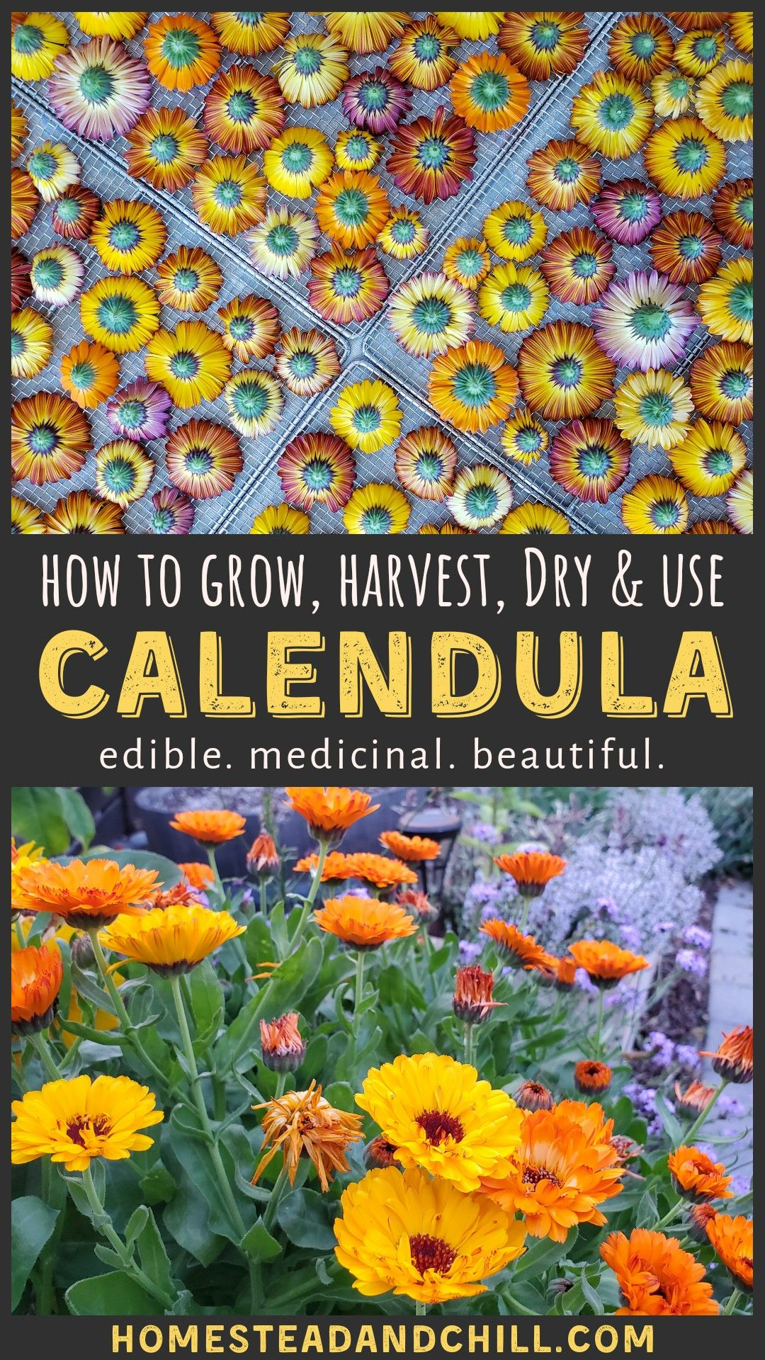 All About Calendula How to Grow, Harvest, Dry, & Use Calendula Flowers is part of Pollinator garden, Medicinal plants, Herbalism, Medicinal herbs, Growing herbs, Edible plants - Come learn how to grow, harvest, dry, and use calendula  A beautiful addition to any garden, it is also edible and has many healing medicinal qualities!