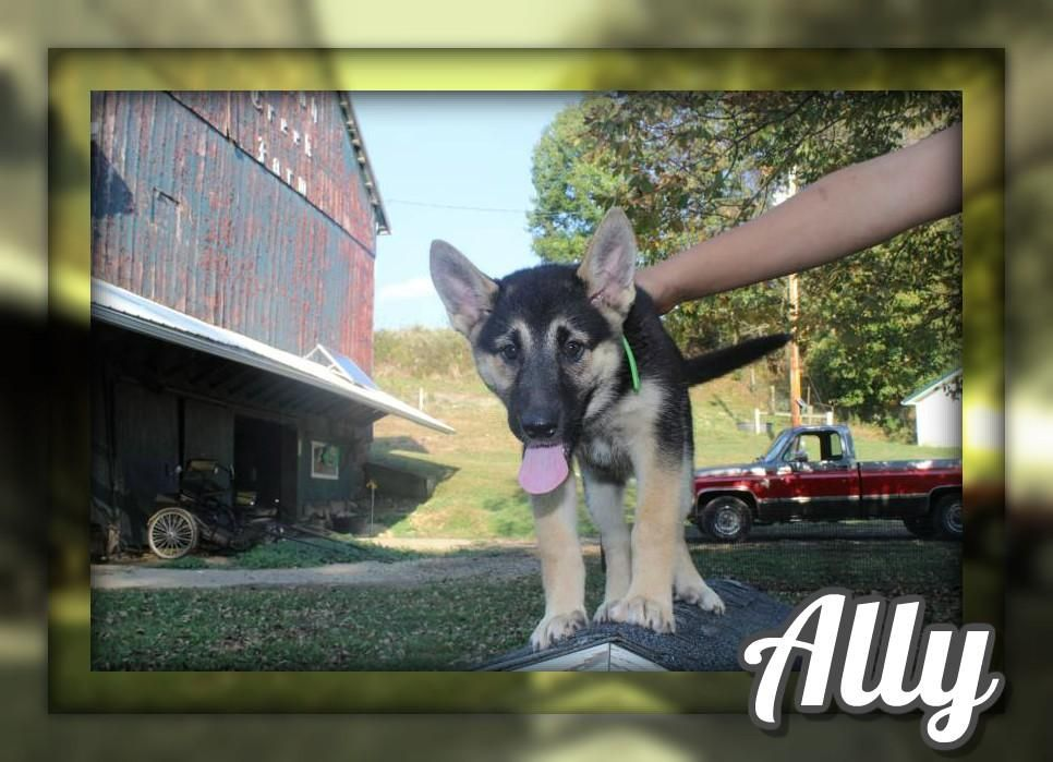 Ally Female German Shepsky 500 German Puppies Puppies For Sale