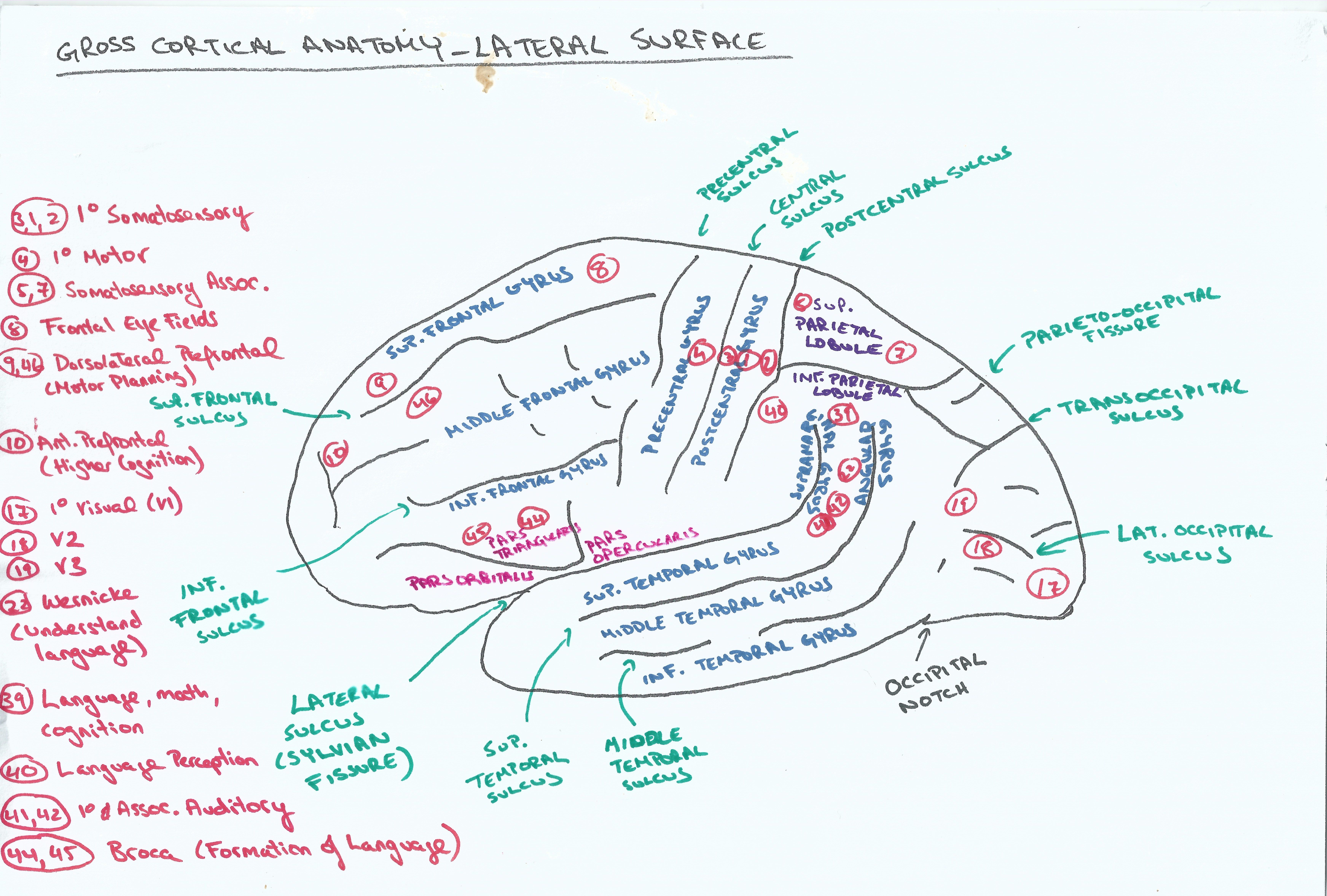 Gross Cortical Anatomy Lateral Surface w Brodmann\'s areas (+ coffee ...