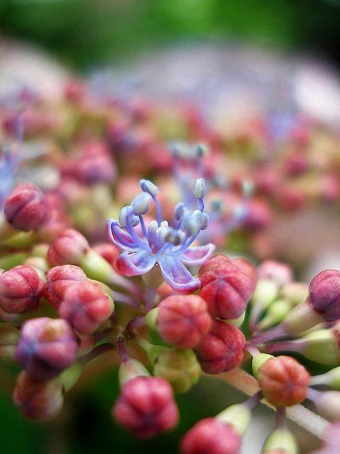 Hydrangea With Buds 1 Hydrangea Flower Photography Art Flowers Photography