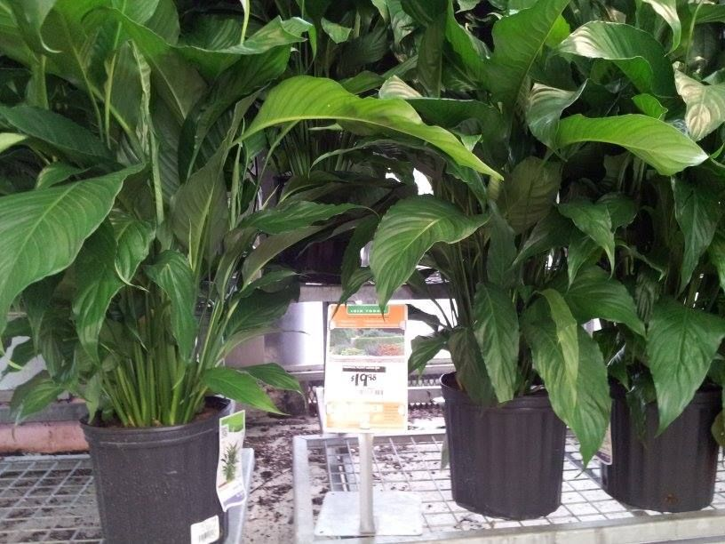 Indoor Plants Home Depot Indoor Plants Indoor Plant Care Plants