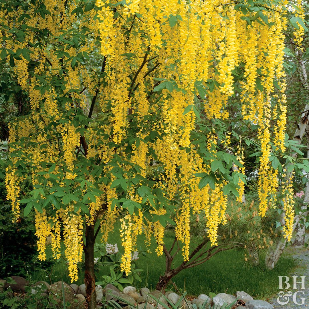 Magnificent When It Blooms In Late Spring And Early Summer Golden Chain Tree Produces Hanging Clusters To 2 Fee Small Trees Golden Chain Tree Golden Rain Tree