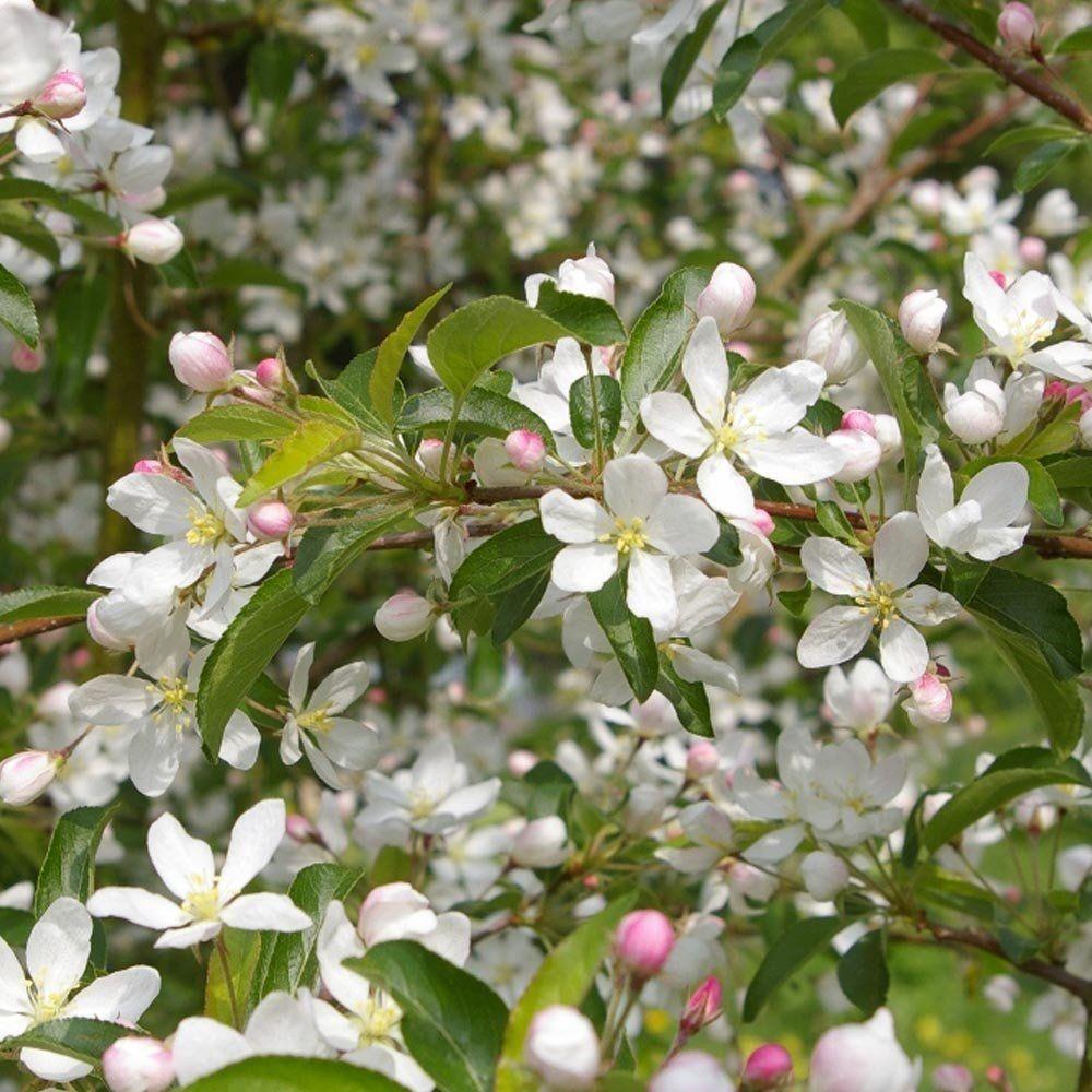 Malus Comtesse De Paris Tree Crabapple Tree Apple Tree Crab Apple