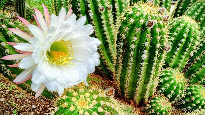 What Are The Different Types Of Flowering Cactus Plants Cactus