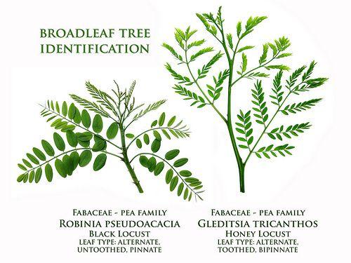 Black Locust V Honey Locust Broadleaf Tree Identification By Virens Latin For Greening Via Flickr Tree Identification Honey Locust Plant Leaves