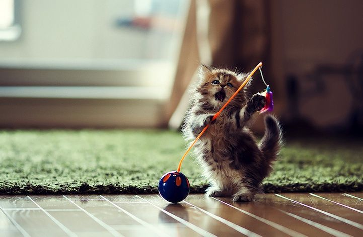 Kitten Playing With A Hartz Birds Of A Tether Windup Toy Cute Little Kittens Kittens Cutest Baby Animals Pictures