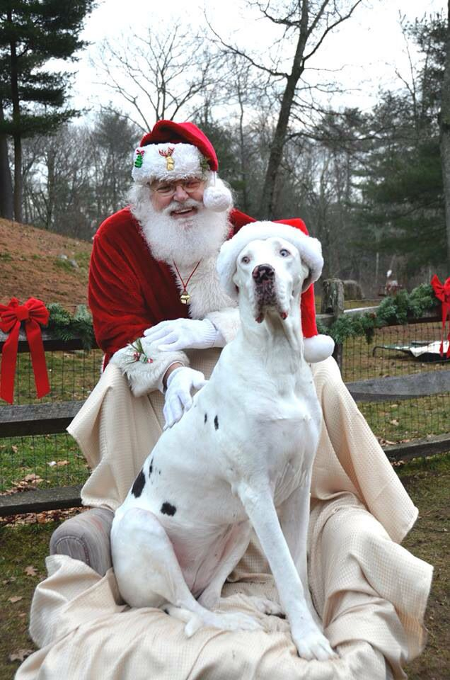 Santa S Helper Service Dog Project Great Dane Dogs Animal Lover