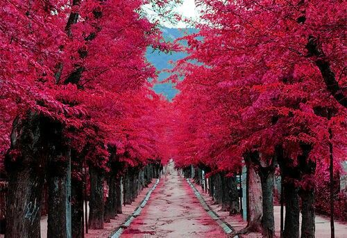 Dark Pink Cherry Blossom Trees Beautiful Places Pictures Places To Visit