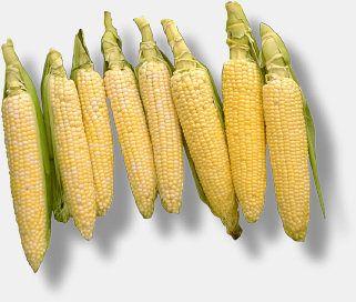 Maduro Listos Para Eligir Corn Sweet Corn Gardening 101