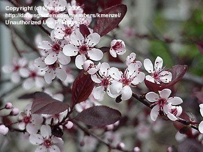 Plantfiles Pictures Purple Leaf Sand Cherry Prunus X Cistena 5 By Shirley1md Purple Leaf Sand Cherry Prunus Lawn And Garden