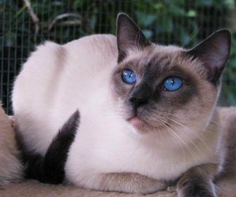 Traditional Siamese Cat Temperament With Traditional Applehead Siamese Traditional Siamese Cat Temperamen Siamese Cats Blue Point Siamese Cats Cats And Kittens