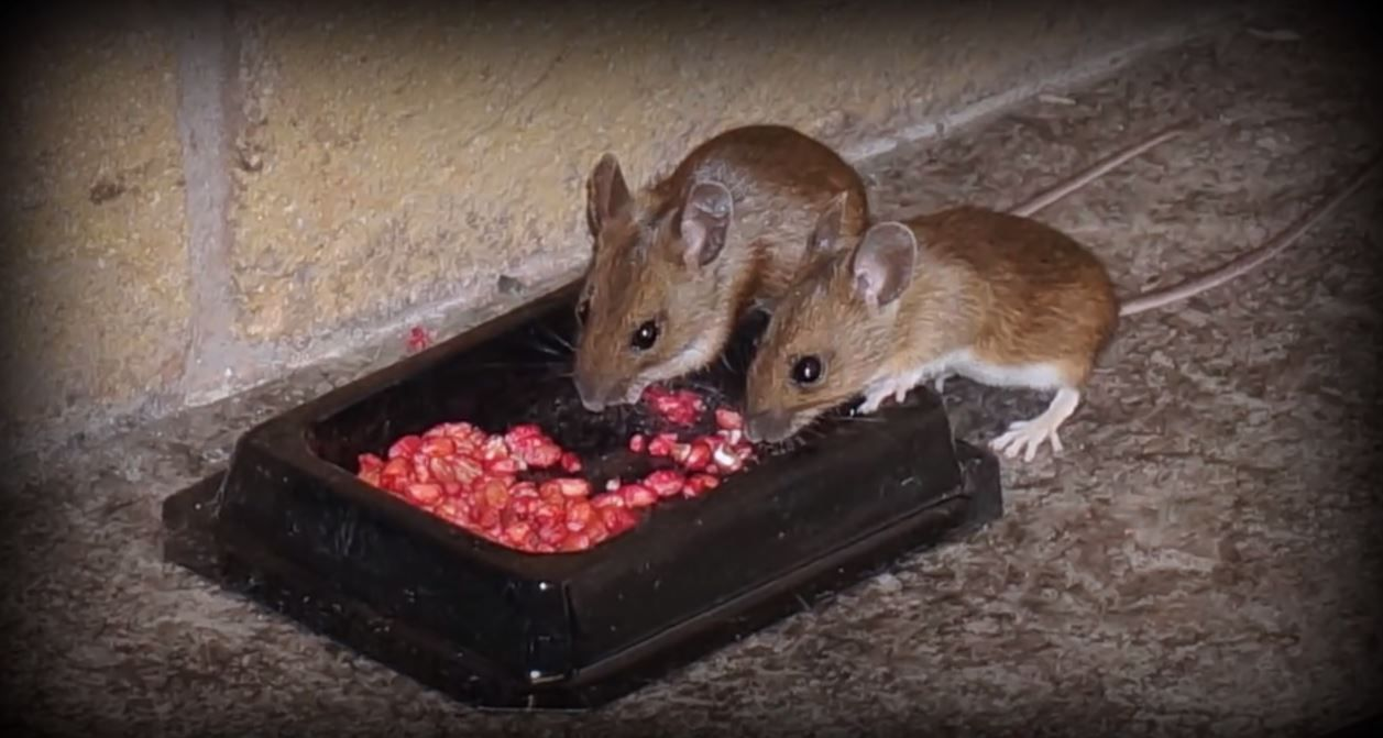 How Do I Get Rid Of Mice In The Attic Cleaningtutorials Net Your Cleaning Solutions In 2020 Getting Rid Of Mice Fly Traps Getting Rid Of Earwigs