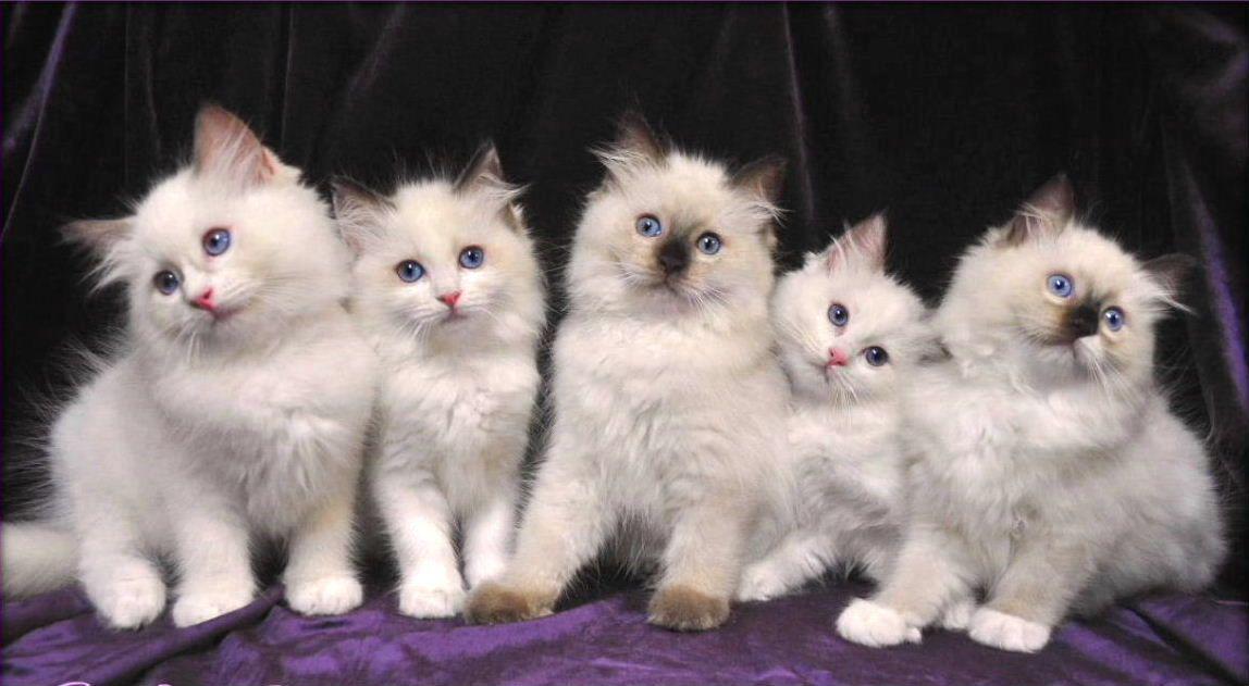Ragdoll Kittens Kitten Breeds Ragdoll Cat Cute Cats