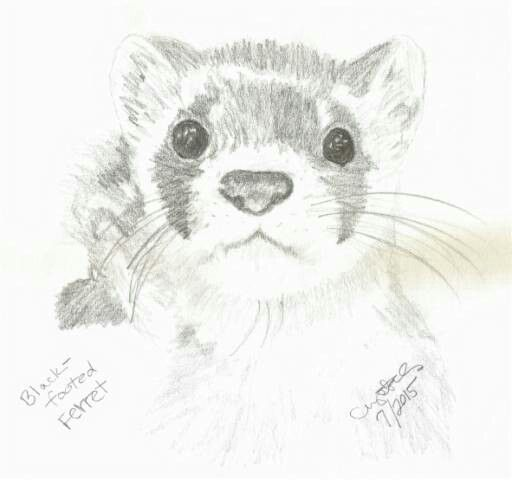Original Black Footed Ferret Drawing Drawings Art Quilts Otter