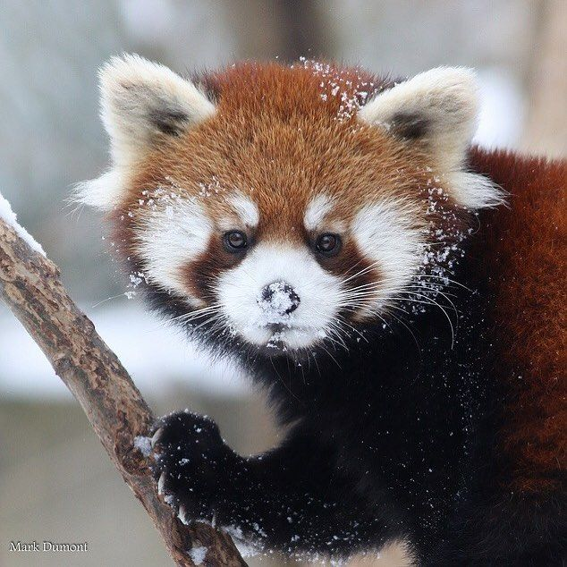 Cincinnati Zoo On Instagram Red Pandas Are Classified As Endangered On The Iucn Red List Of Threatened Species Its Population Has Roter Panda Pandas Katzen