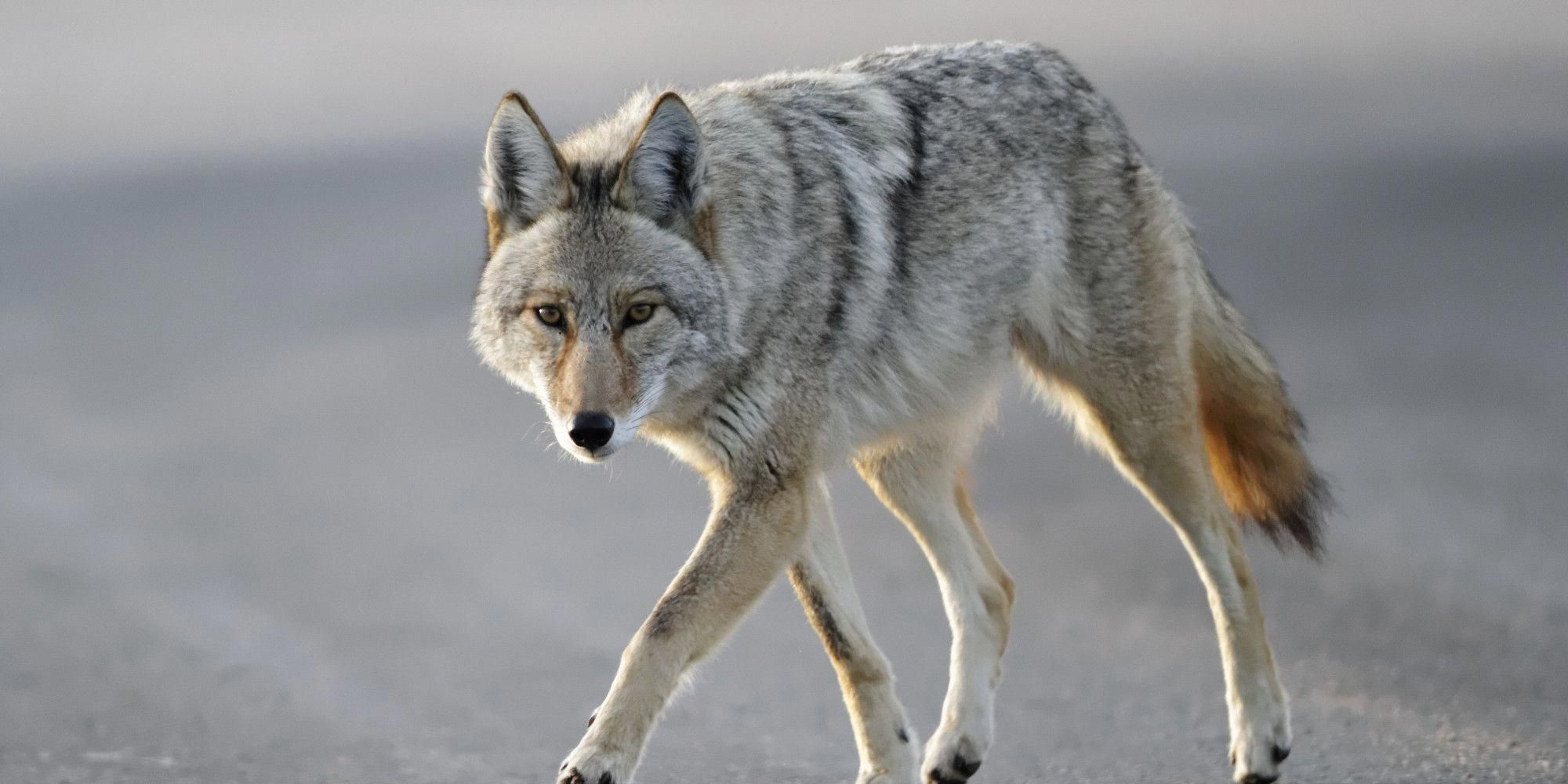WATCH Coyote Roaming The City Attacks Small Boy  Photography WATCH Coyote Roaming The City Attacks Small Boy Emeil Hawkins 3YearOld Chicago Boy Attacked By Coyote After...
