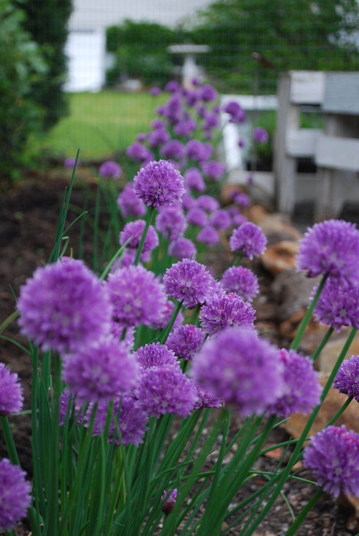 chives, need to remember to plant these near alliums