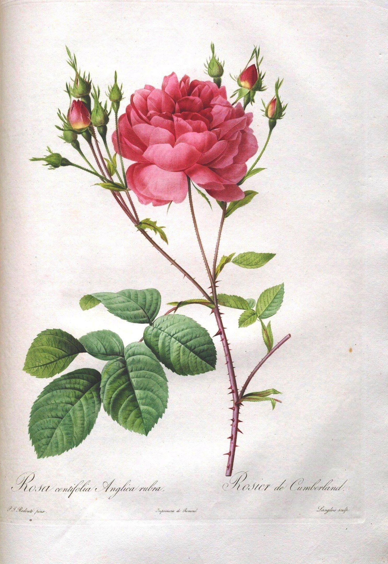 Botanical flower les roses 40 clip art pinterest for Art flowers
