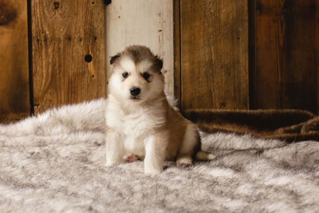 Frank - a male Wolf-Malamute Hybrid puppy for sale in