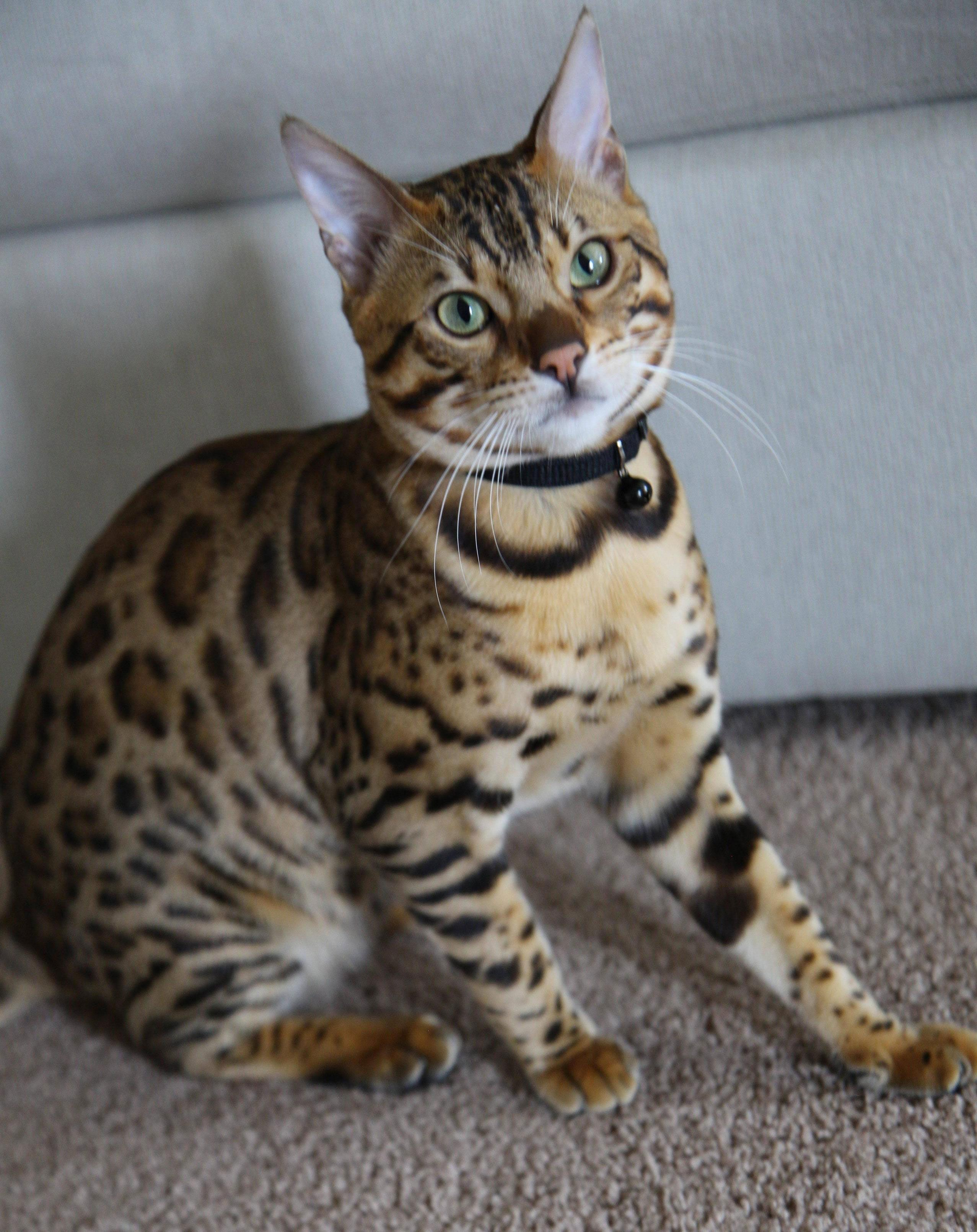 The beautiful love story of a purebred Bengal cat and his wife