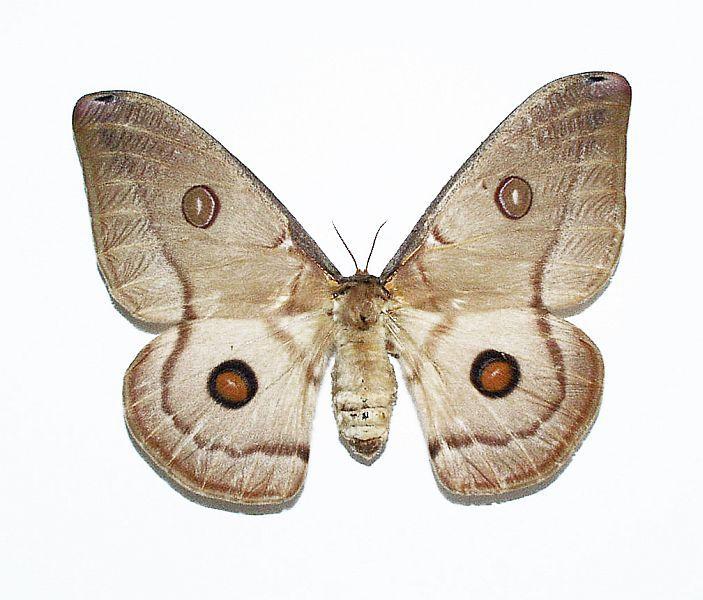 opodiphthera eucalypti - Buscar con Google