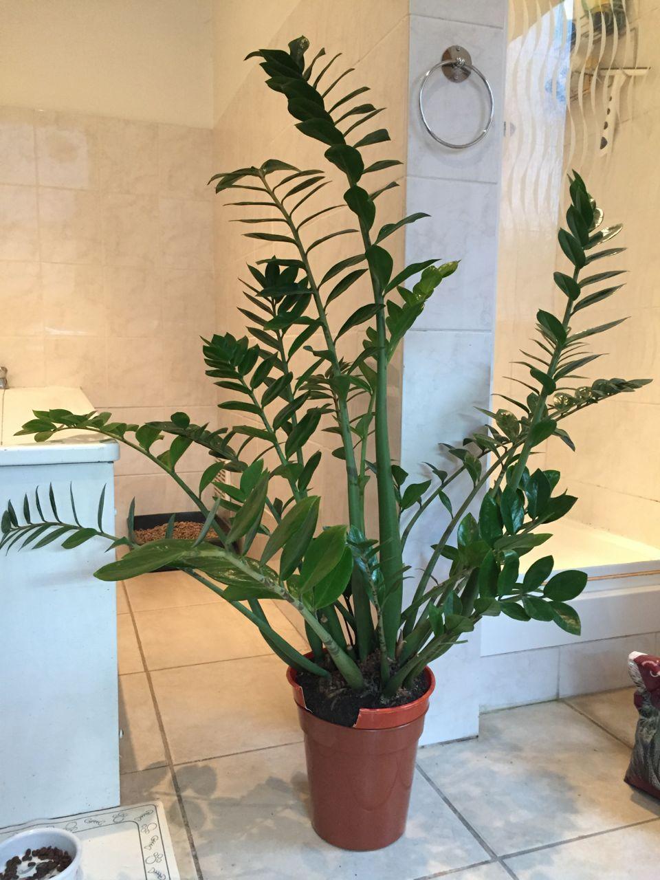Dividing A Zamioculcas Zamiifolia Zz Plant Plants Interior