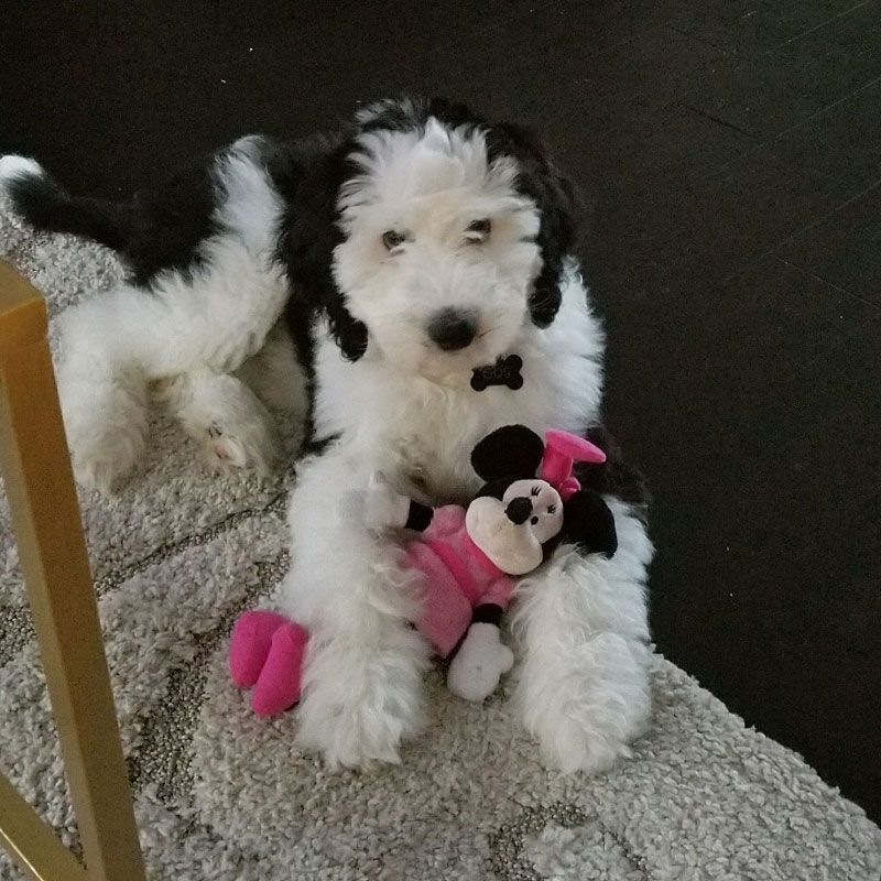 Sheepadoodle Puppies For Sale In Virginia By Debs Doodles Sheepadoodle Puppy Sheepadoodle Puppies For Sale