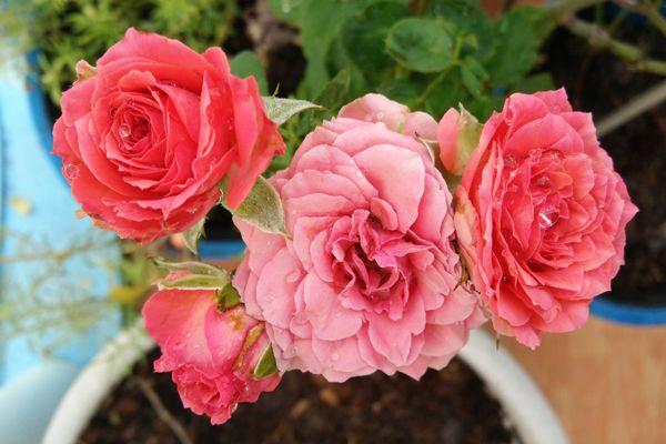 12 Ideas De Rosas Esquejes En 2021 Esquejes Sembrar Rosas Esquejes De Plantas