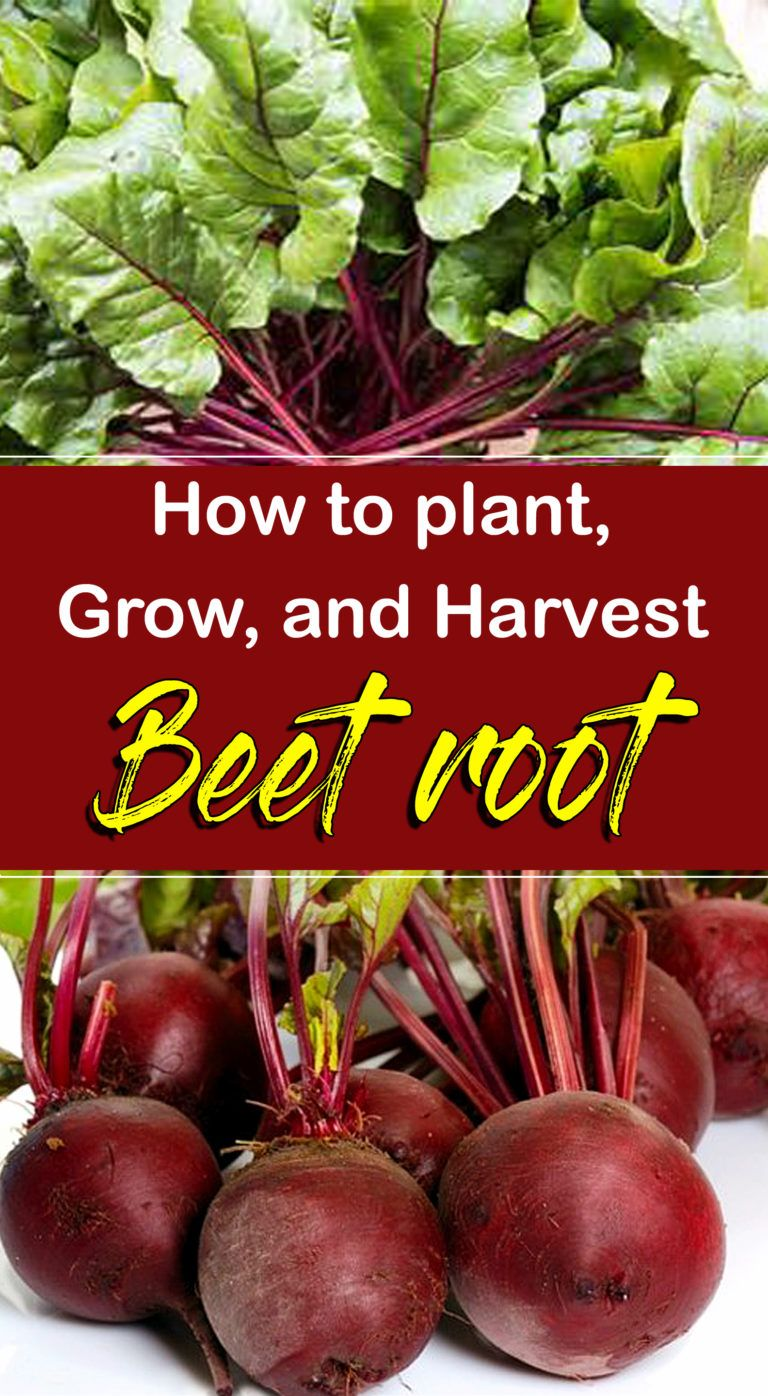 How To Grow Beets In 2020 Growing Beets Growing 640 x 480