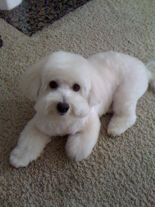 Coton De Tulear Short Haircut Google Search Coton De Tulear Dogs Coton De Tulear Coton De Tulear Puppy