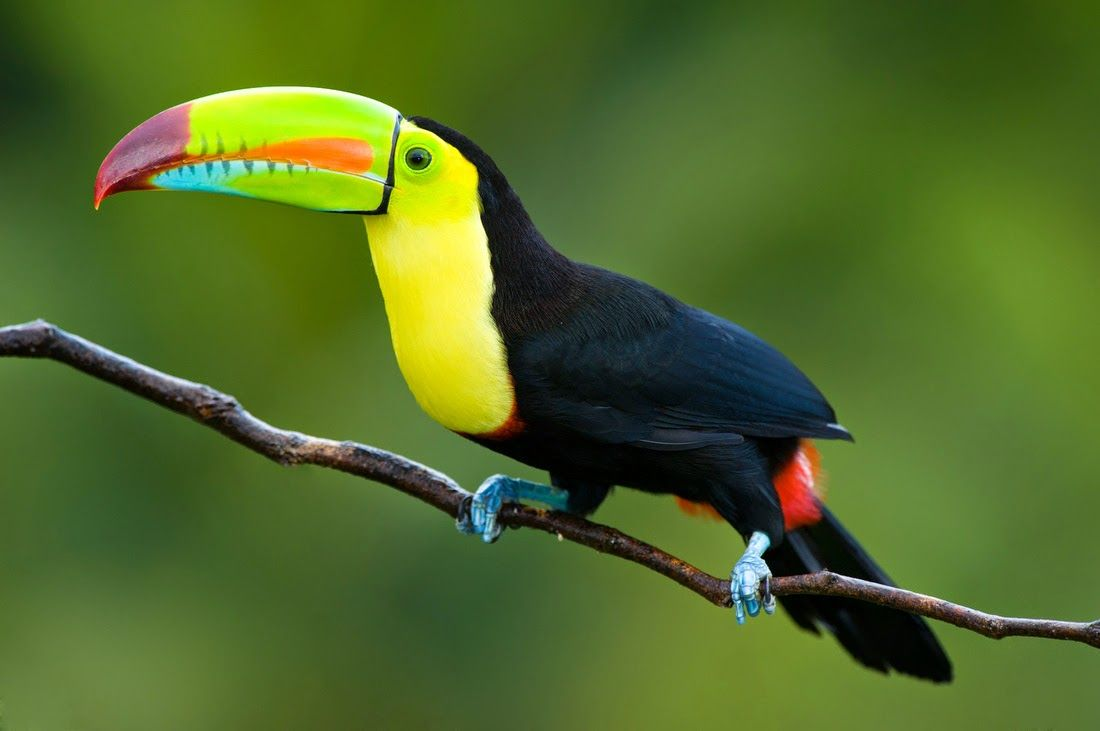 """Name Toucan, this bird has received from the Portuguese word """"Tupi toucans"""". These beautiful and majestic birds can be found in several locations, including Central and South America, the Caribbean and the southern part of Mexico. These birds are very popular and famous for its large beak that is painted bright colors, and until now has been known 40 different variations of this kind."""