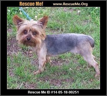 Yorkie Rescue South Carolina Yorkie Yorkie Dogs Animal Rescue