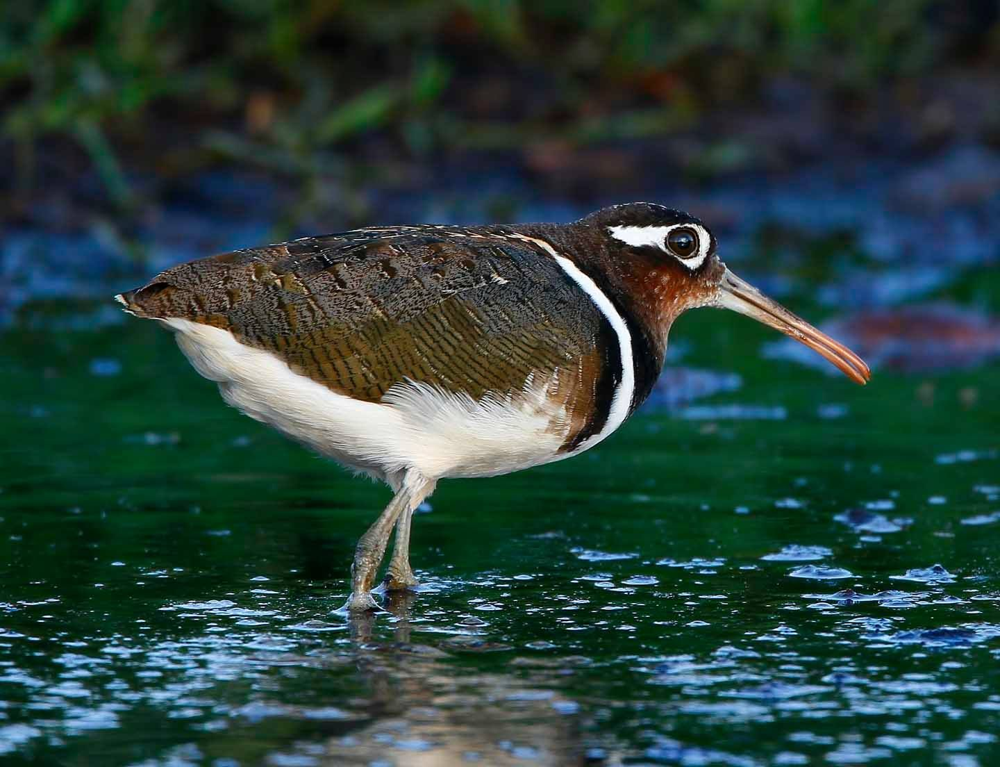 Painted Snipe  .