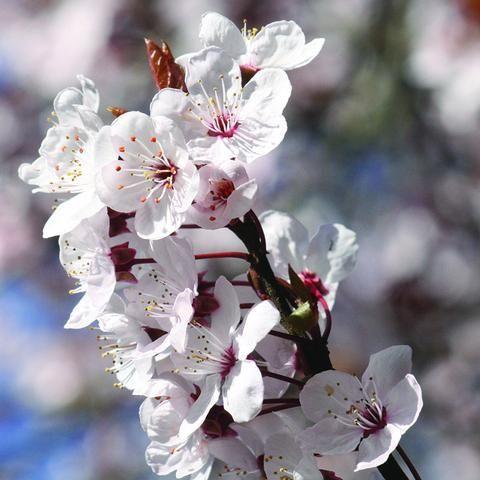 Fuji Cherry