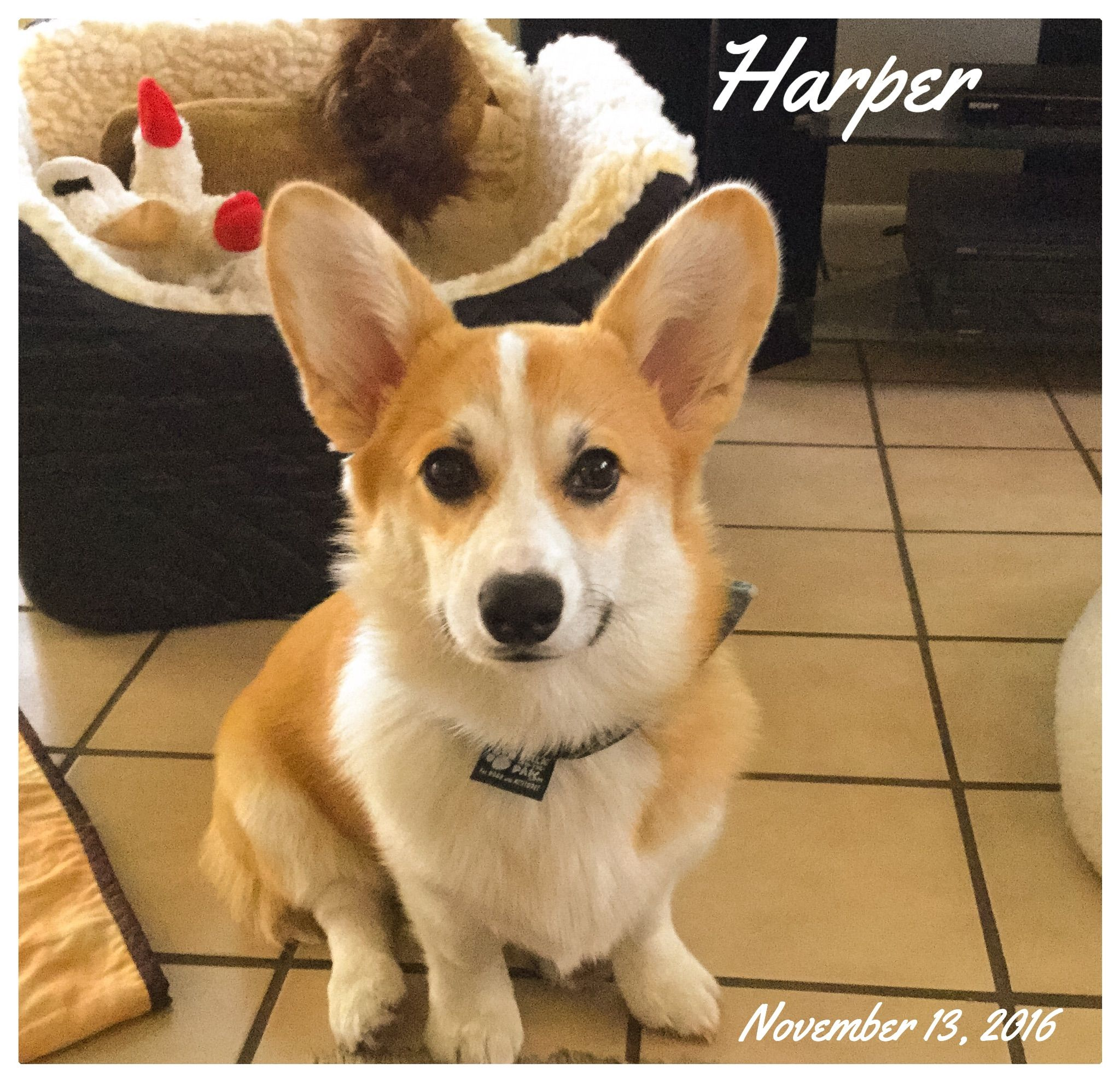 Harper At 6 Months Corgi Pembroke Welsh Corgi Cute Corgi Puppy