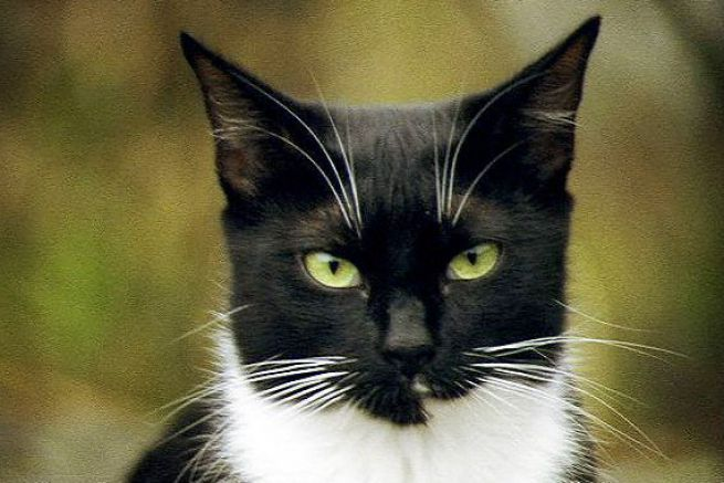 Black And White Cats With Yellow Eyes 1 White Cats Cat Breeds Cats