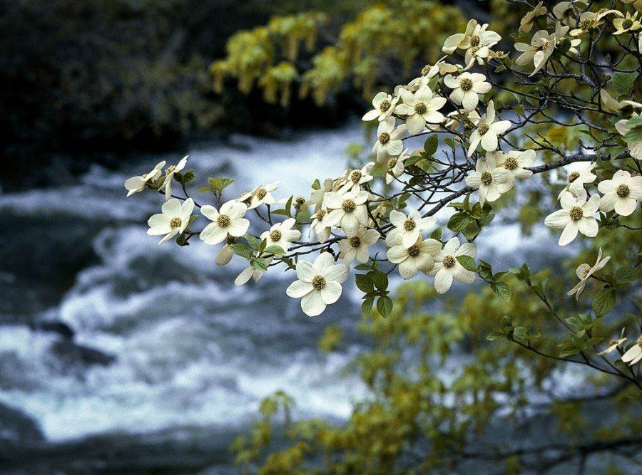 All About The Flowering Dogwood With Images Dogwood Trees