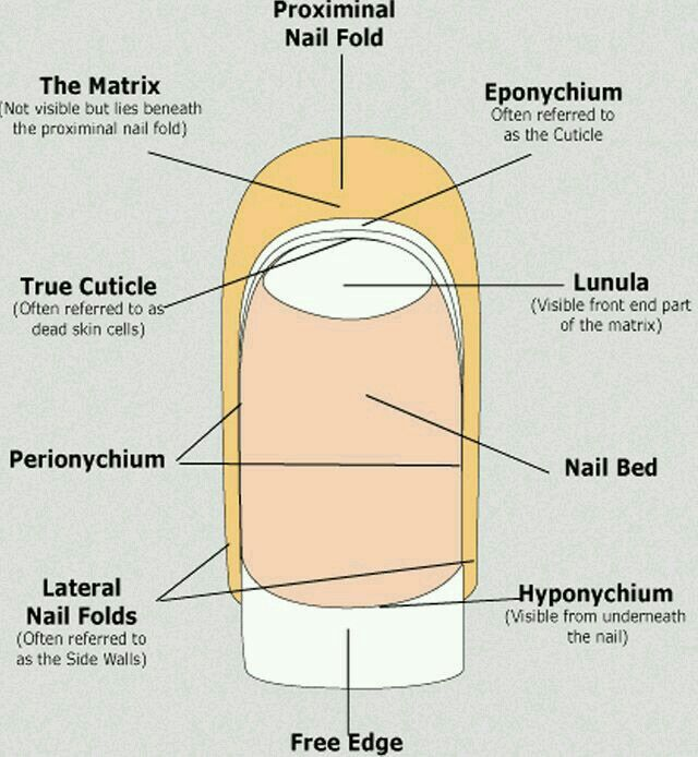 Anatomy And Physiology Of The Nail Whyclary Why Csc Is Right For