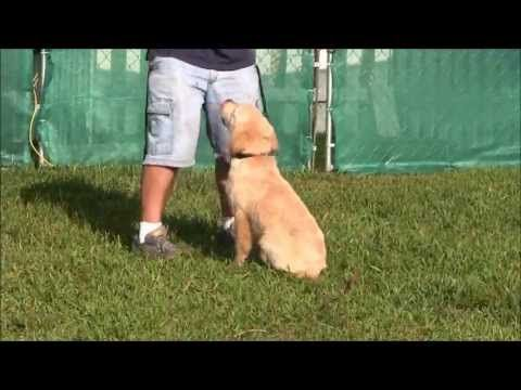 4 Month Old Golden Retriever Obedience Training Youtube Old